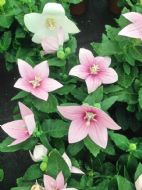 Balloon Flower Pink 30 Seeds, Chinese Bellflower -Most reliable white bloomers!